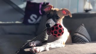 Nellie the Whippet leaves home and get a new family
