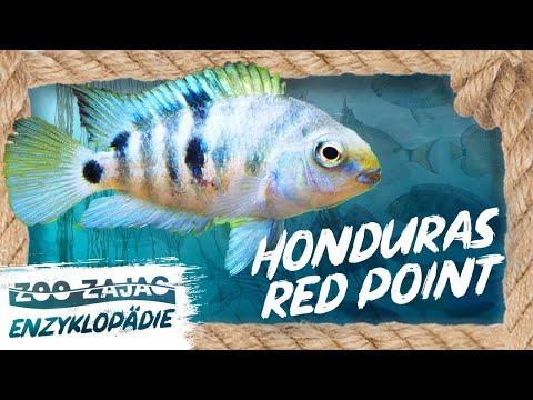HONDURAS RED POINT | FISCHENZYKLOPÄDIE | ZOO ZAJAC