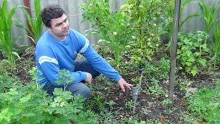 Способ посадки и выращивания яблонь