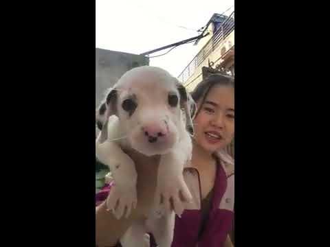 Bầy chó đốm con thuần chủng giá rẻ HCM ngày 05-04-19   0938 306 975   Chó Đốm Con   Bán Chó Đốm Con