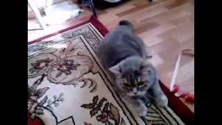 Шотландский прямоухий кот Скоттиш-страйт готовится к прыжку (Scottish Straight)
