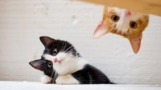 Забавные кошки - смешные падения, неудачи.  Видео Сборник [HD]