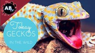 Tokay Geckos in the Wild! Corey Wild - Ep. 19 : AnimalBytesTV