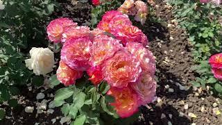 «ЦВЕТУЩИЕ ГРЯДКИ» 44 сорта роз с названиямипитомник Maryroses.ru🌱