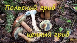 Польский гриб - лучший среди моховиков. Imleria badia.