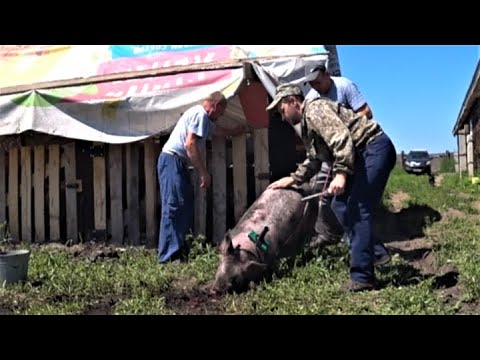 Вопрос: Стригут ли свиней И если да, то зачем Что делают с их шерстью?