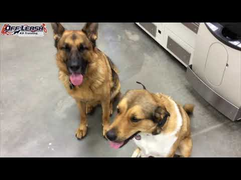 """2.5 Year Old Anatolian Shepherd Mix """"Maggie"""" Before/After Video 