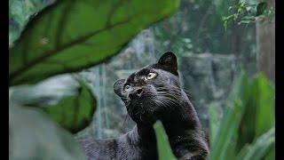 Пантера.Красивое животное.