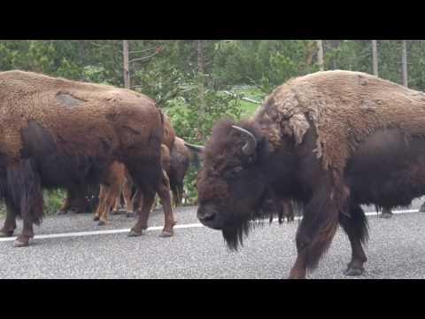 Bison heard walk by in Yellowstone.