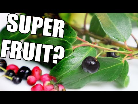 Maqui The Super Fruit From Chile Chilean Wineberry Weird