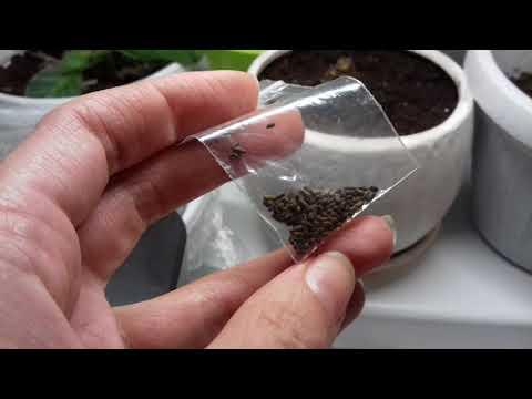 Семена цветов глоксинии почтой с китайского сайта Алиэкспресс