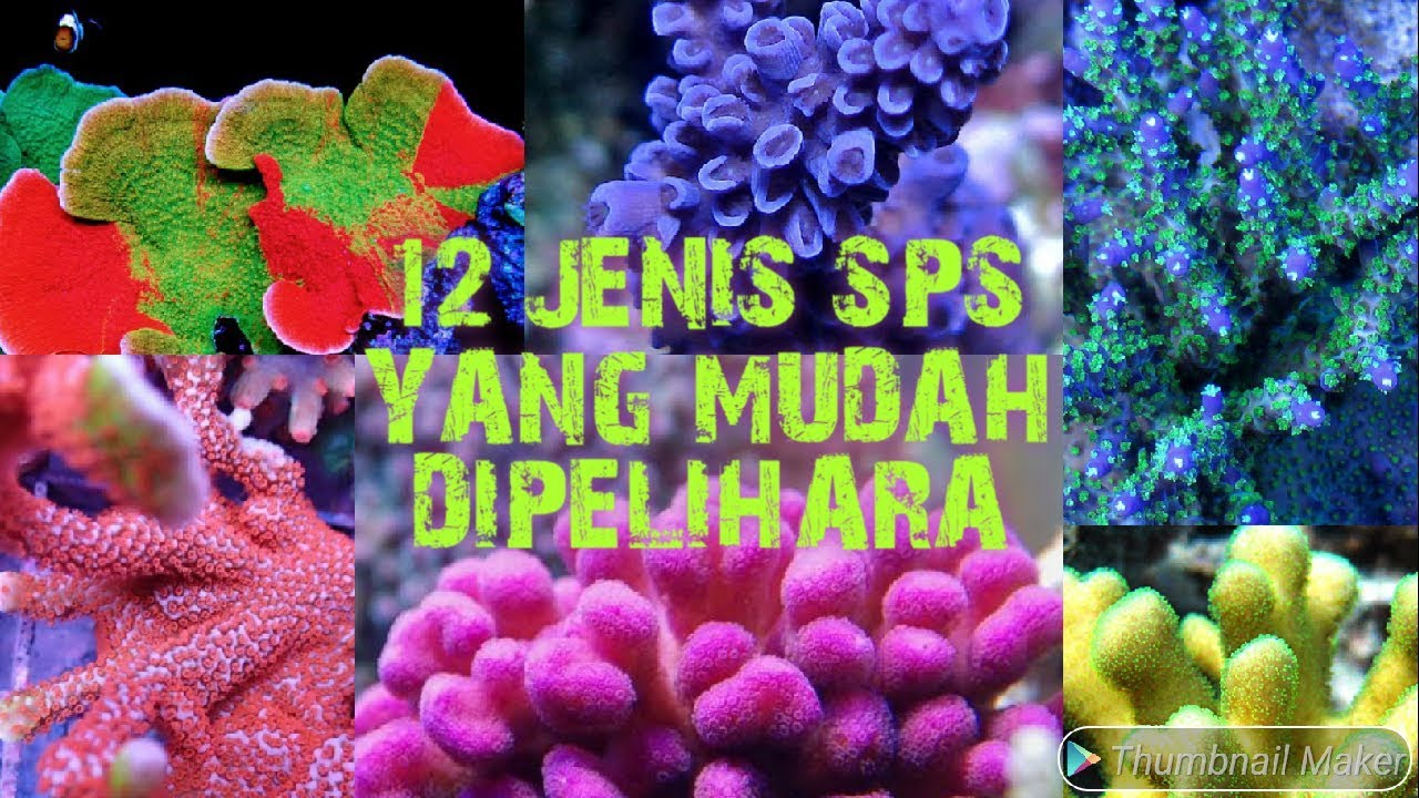 12 Jenis Sps Small Polyp Stony Coral Terumbu Karang Yang Paling Mudah Untuk Dipelihara Youtube