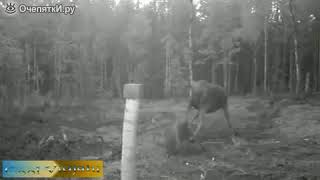 Лосиха против стаи волков