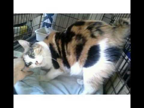 japanese bobtail cat rescue
