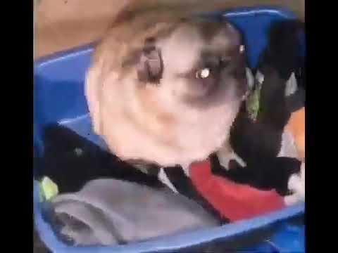 Собака танцует под музыку   tiktok meme