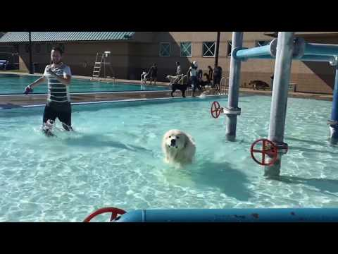 Panama's Day at the Pool (Great Pyreenees dog swimming)