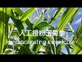 人工授粉玉蜀黍 | 玉蜀黍部位 | Hand pollinating sweetcorn | Parts of a sweetcorn plant