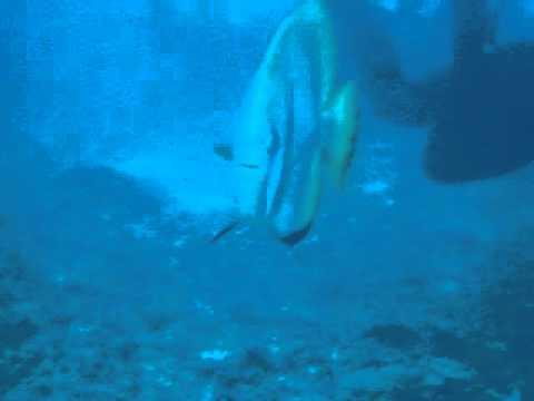 thresher shark-3