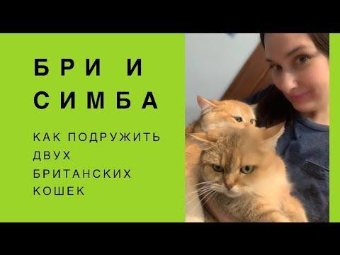 Я хочу с тобой дружить: как подружить двух британских кошек
