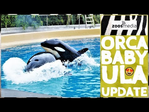 orca-baby-ula:-update-on-her-development-in-loro-parque-😍-|-zoos.media
