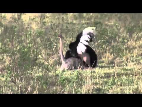 Как спариваются страусы