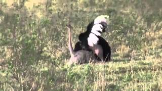 Спариванье страусов