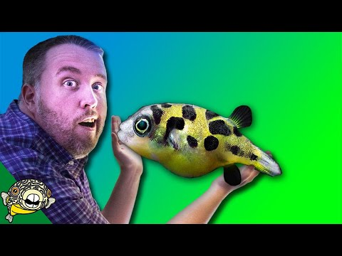 How to care for FRESHWATER PUFFER FISH - Dwarf Puffer, Pea P