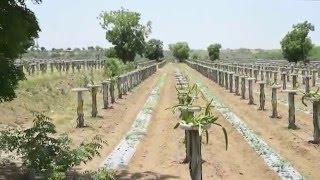 Auroch Dragon Fruit Project at Kharua Village, Abdasa Taluka, Kutch Gujarat