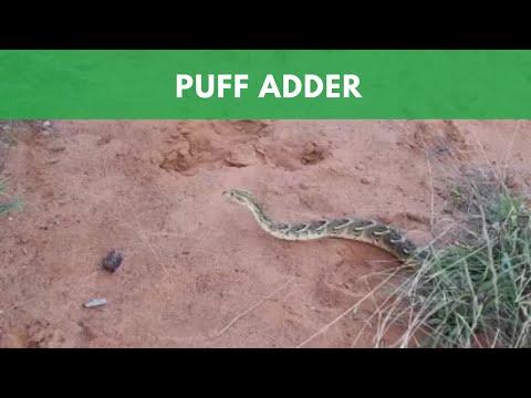 Puff Adder