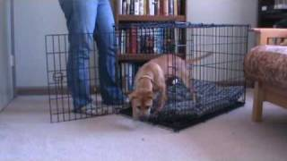 Teach Your Dog To Go Into A Crate