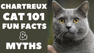 Chartreux Cats 101 : Fun Facts & Myths