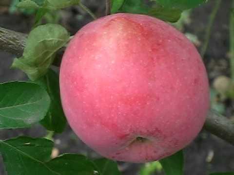 роз фото семена