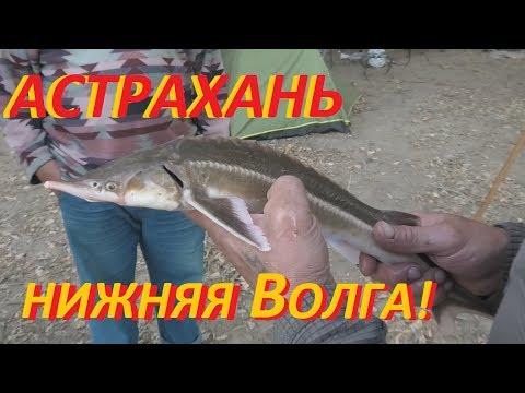 Рыбалка в Астрахани на Волге! Енотаевка. Стерлядь!