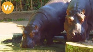 Hippopotamus and crocodiles | Animals from all continents