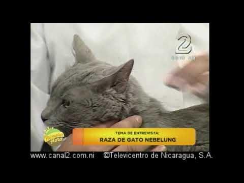 Raza de gato nebelung
