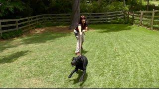 Puppy Training, Scarlett, Lab, Day 1: Eval. Walk, Follow, Crate Manners