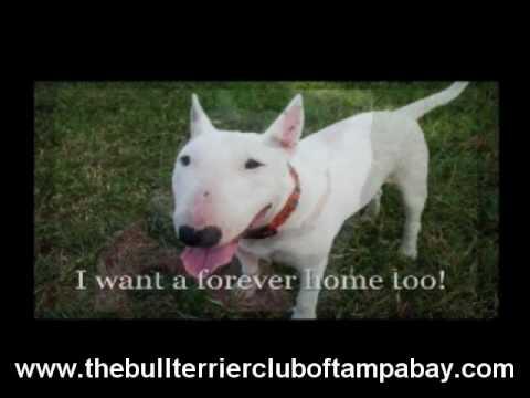 """""""Bull Terrier Rescue Florida"""" """"Bull Terrier Adoption"""""""