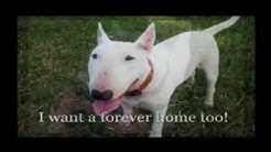 """Bull Terrier Rescue Florida"" ""Bull Terrier Adoption"""
