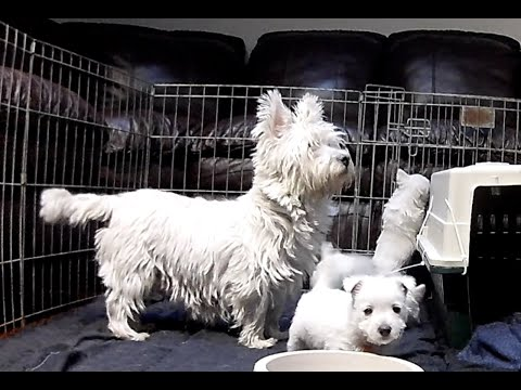 West Highland White Terrier Kyra With her Pups Part 2