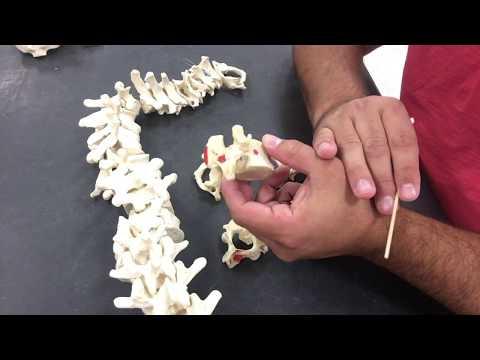 Axial Skeleton - Vertebral Column