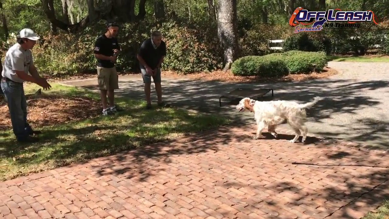English Setter Suzanne, Before and After OLK9 Hunting Dog Obedience Training