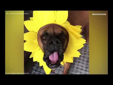 Funny Boxer dog videos compilation of 2019 || Monkoodog