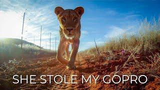 Lioness Shoots a Selfie