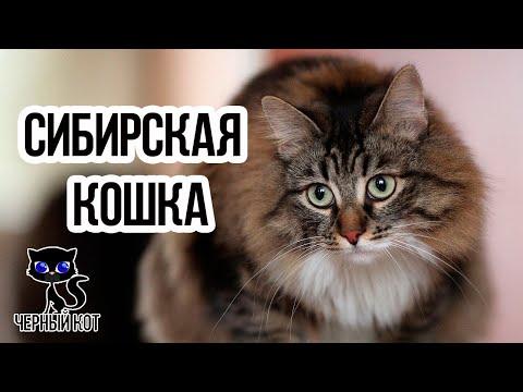 ✔ Сибирская кошка, плюсы и минусы породы. Почему стоит завести сибирскую кошку?