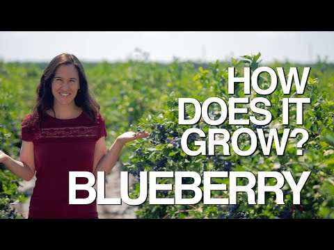 BLUEBERRY | How Does it Grow?