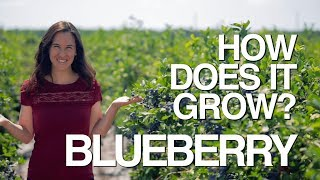 How Does it Grow? BLUEBERRIES