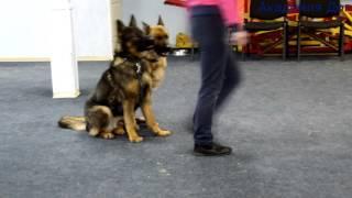Если у вас две собаки Академия Дог, Хабаровск