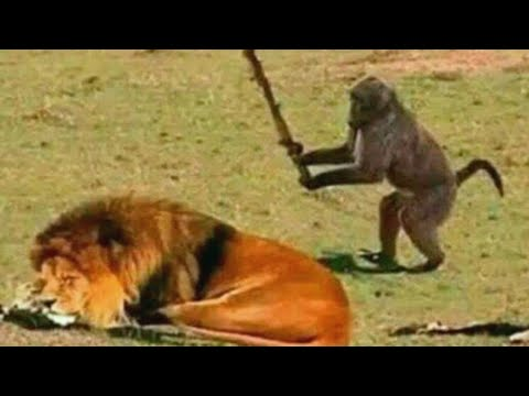 ЕРЖАН ВСТАВАЙ НА РАБОТУ ПОРА - Обезьяна Ержан бьет льва