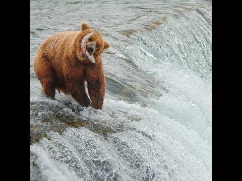 Brown Bears salmon fishing at Brooks Falls, Alaska