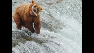 Brown Bears salmon fishing at Brooks Falls, Alaska